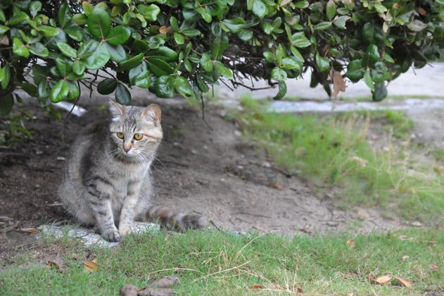 雨宿りするサバトラ猫