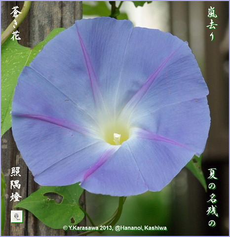 130916朝顔青紫