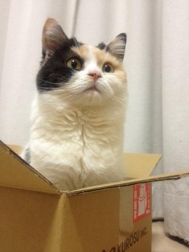 箱が好きすぎる猫1