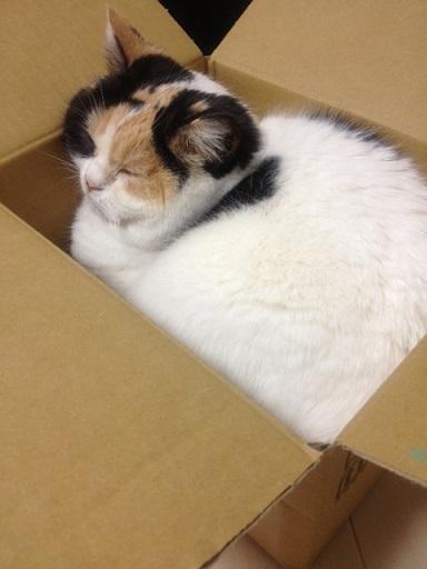 箱で安心する猫
