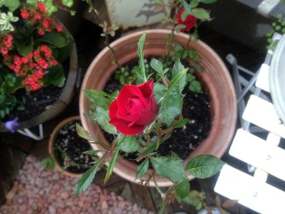 バラが咲いた~