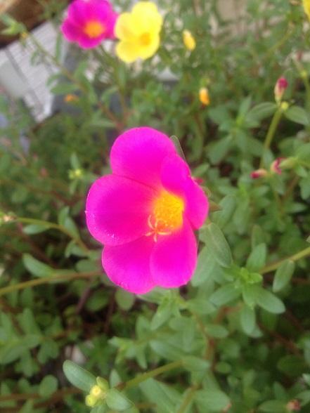 2013夏の庭2ポーチュラカ