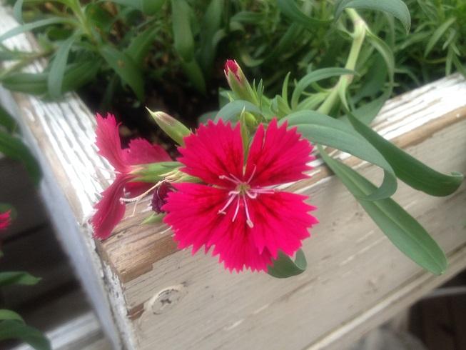 2013夏の庭3四季咲きなでしこ