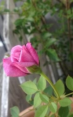 ミニバラ☆ピンク紫