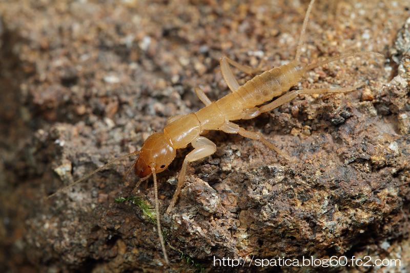 ヒメガロアムシ幼虫