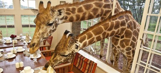 giraffemanor4.jpg