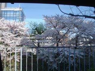天神川の桜