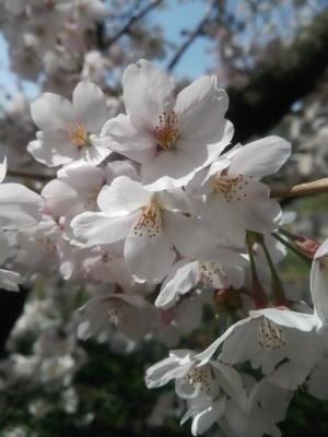 高森南小学校の桜