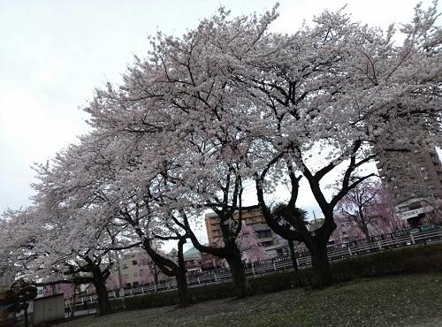 桜、満開①