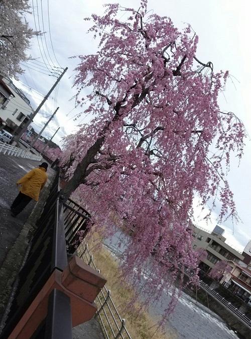 桜、満開②