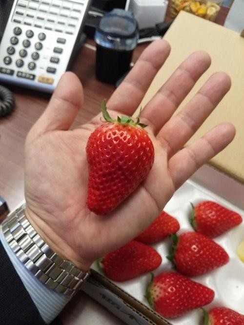 新品種いちご<スカイベリー>栽培マニュアル6月策定へ②
