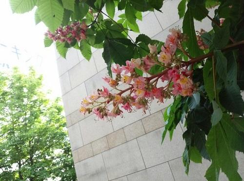 トチノキの花①
