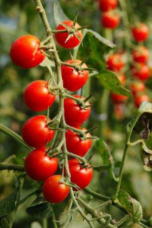 農作物成分の常識を変えた!『ピロール農法』現地調査に行ってきました③