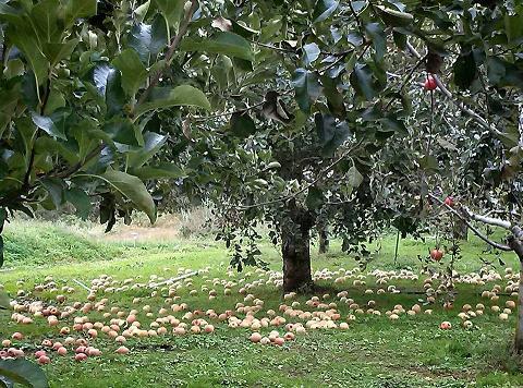 20131018【画像】リンゴ被害状況調査<矢板市>02_1
