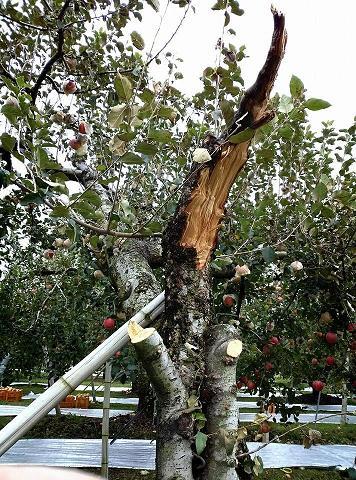 20131018【画像】リンゴ被害状況調査<矢板市>11_1