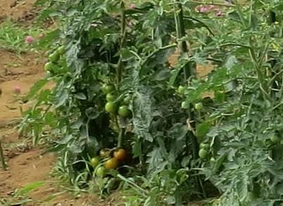 菜園の中球トマト