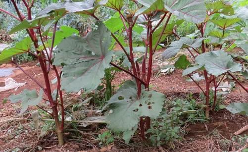 菜園の赤オクラ