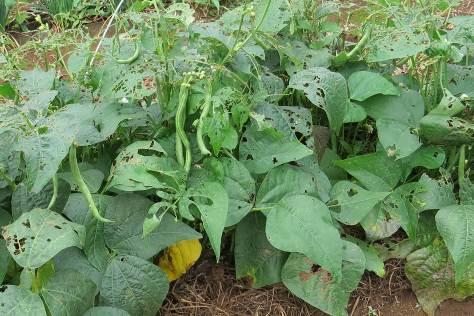 菜園のつるなしインゲン