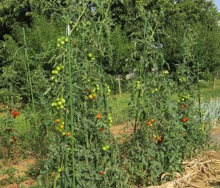 菜園の中玉トマト