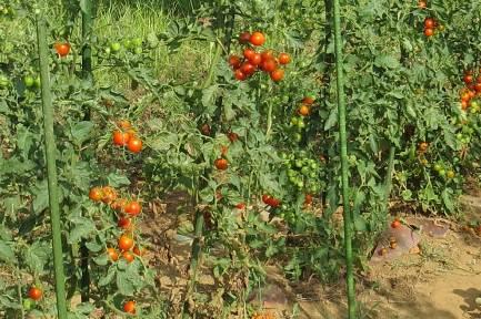 菜園の小玉トマト