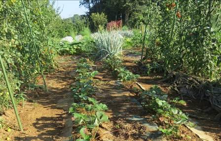 トマトの間のイチゴ苗
