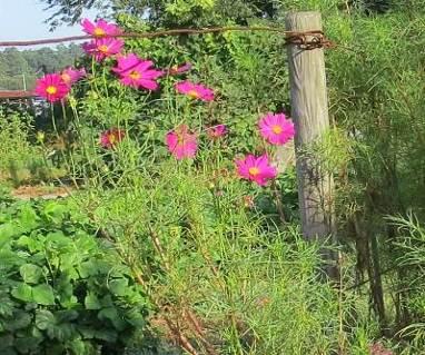 菜園の赤いコスモス