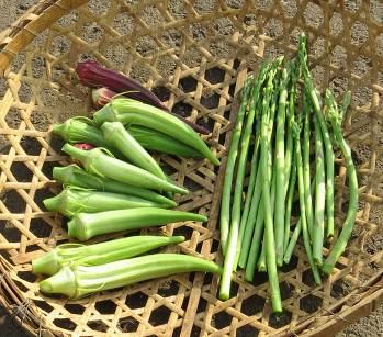 アスパラガスとオクラ収穫物