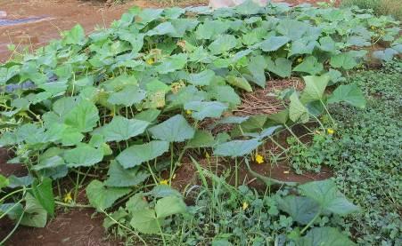 菜園の9月の地這いキューリ