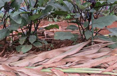 ソルガム敷き草