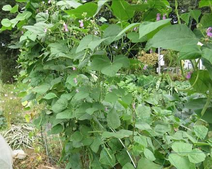 菜園の黒豆インゲン