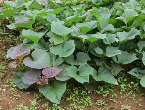 安納芋の茎葉