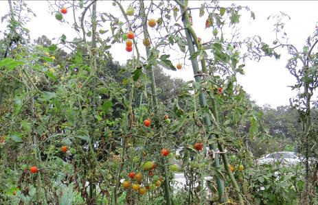 晩秋のミニトマト