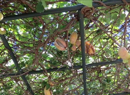 アケビの木と実