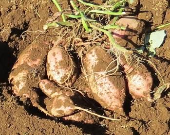 安納芋の株とイモ