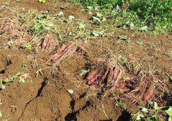 ベニハルカの掘りあげたイモ