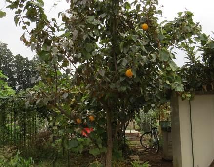 11月の柿