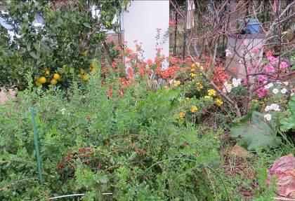 クコ、菊花、カボスの菜園
