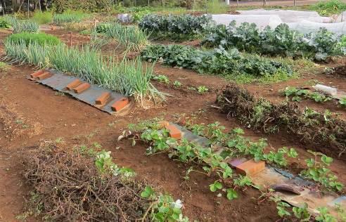 イチゴなど11月菜園の様子
