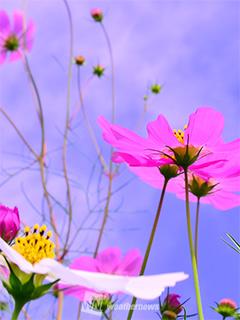 秋空に花びらを広げたコスモス