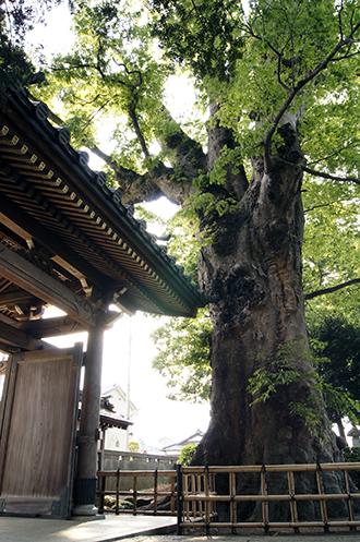 130504東京 梅岩寺の欅①