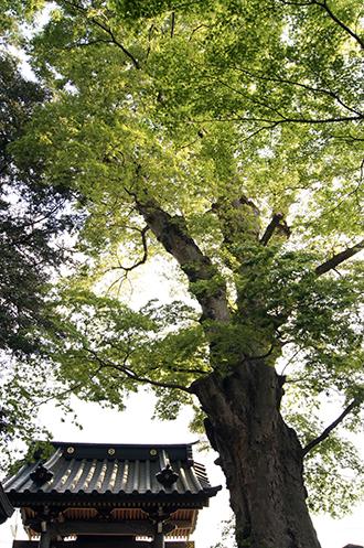 130504東京 梅岩寺の欅②