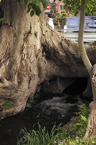 130504東京 万年橋の欅①
