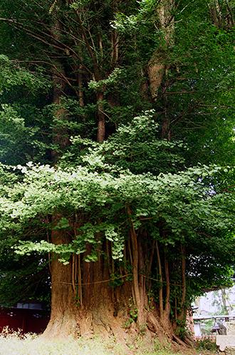 130602神奈川荻野神社銀杏①