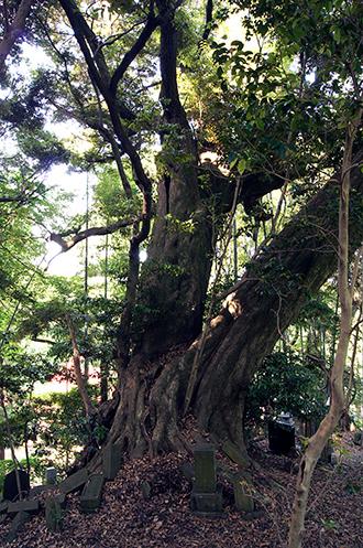 130602神奈川 松石寺の椎①