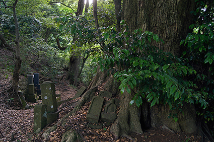 130602神奈川 松石寺の椎⑥