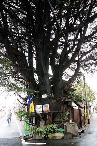 131006谷中のヒマラヤ杉①