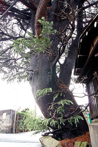 131006谷中のヒマラヤ杉④