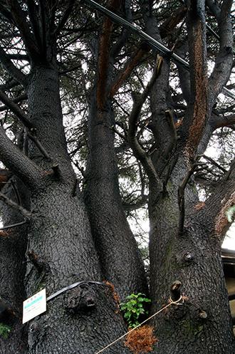 131006谷中のヒマラヤ杉⑤