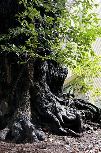 131006東京 玉林寺の椎④