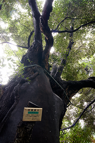 131006東京 玉林寺の椎②